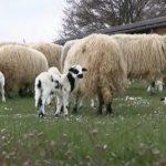 janje ovca